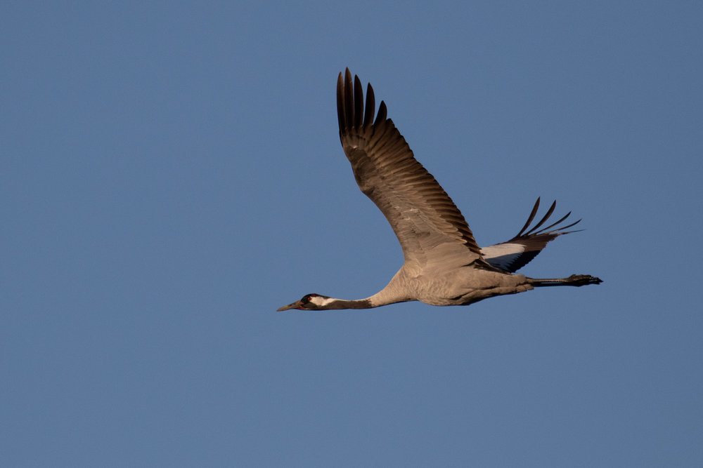 A single adult Common Crane making a close flyby.