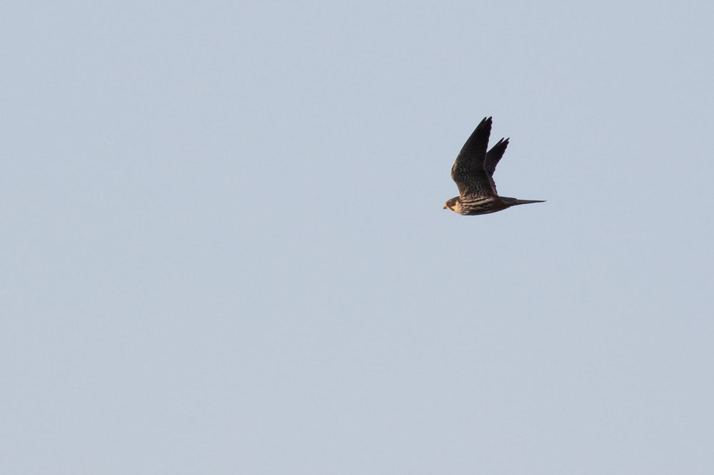 Hobby arriving from the sea.