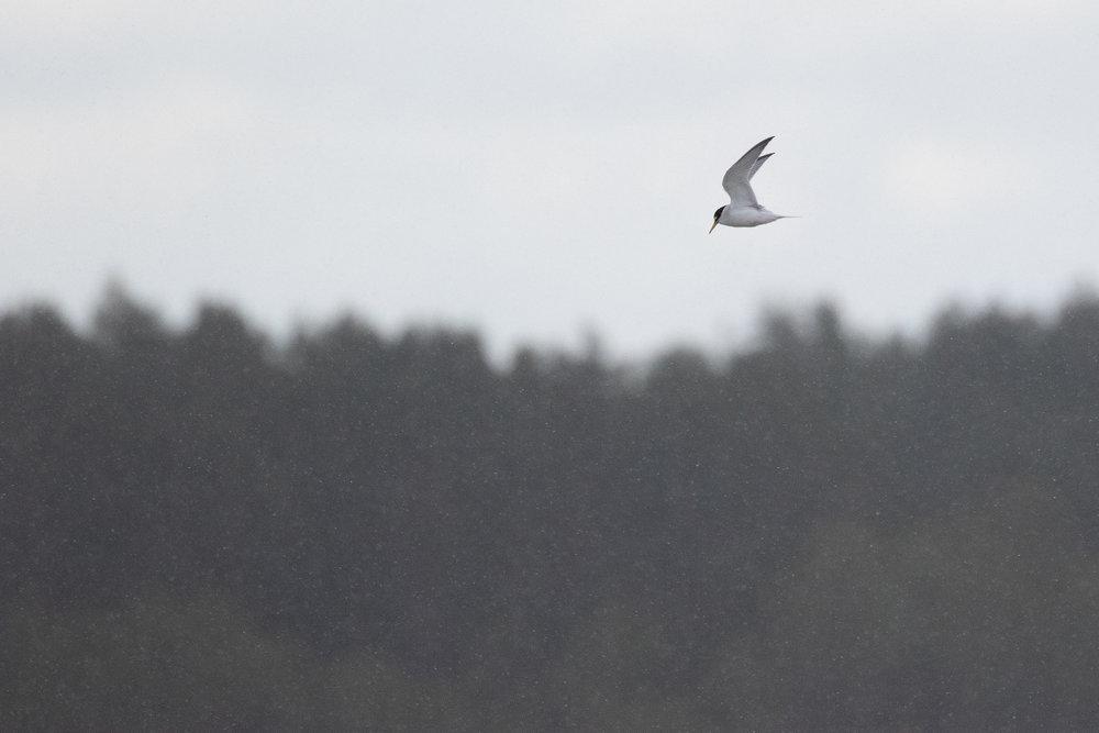 Little Tern in light snow.