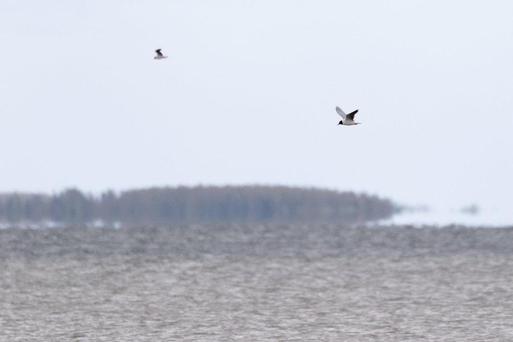 Adult Little Gull… Beautiful birds…