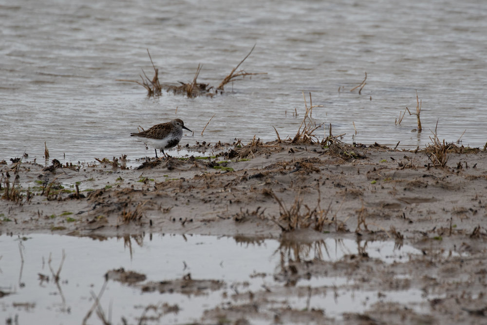 Dunlin of the  schinzii  subspecies, with restricted black on the belly.