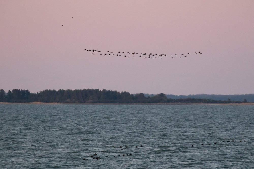 Common Scoters and a few Long-tailed Ducks.