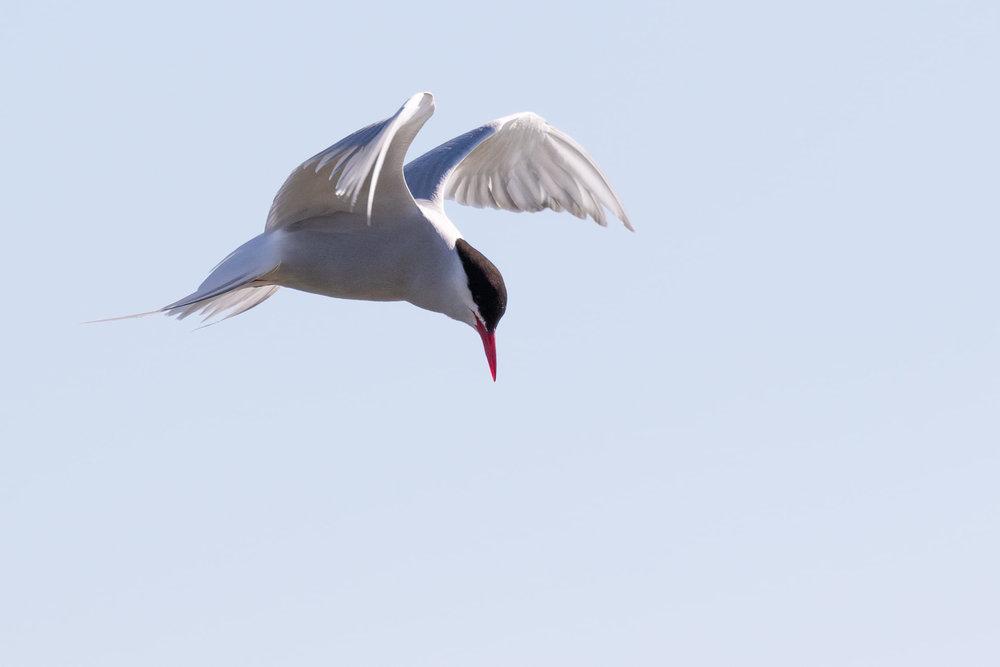 Arctic Tern, same bird as previous.