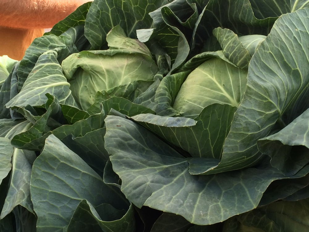 Sandlin Farms cabbage.JPG