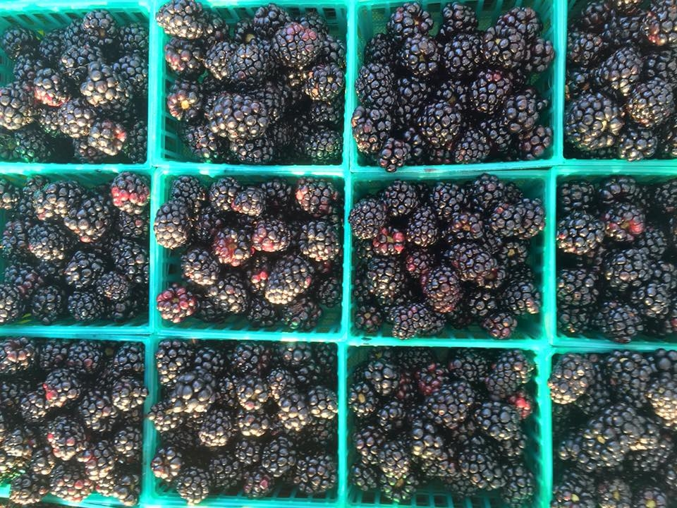Knight Farms blackberries.jpg