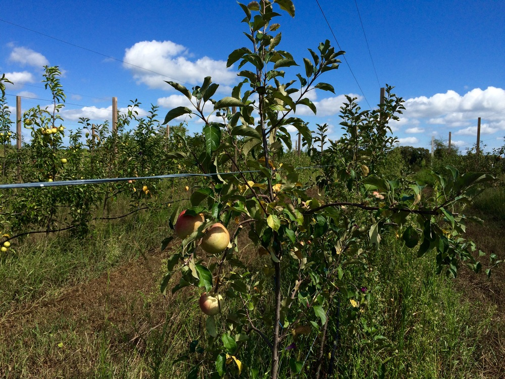 Harvest Farm apple orchard.jpg