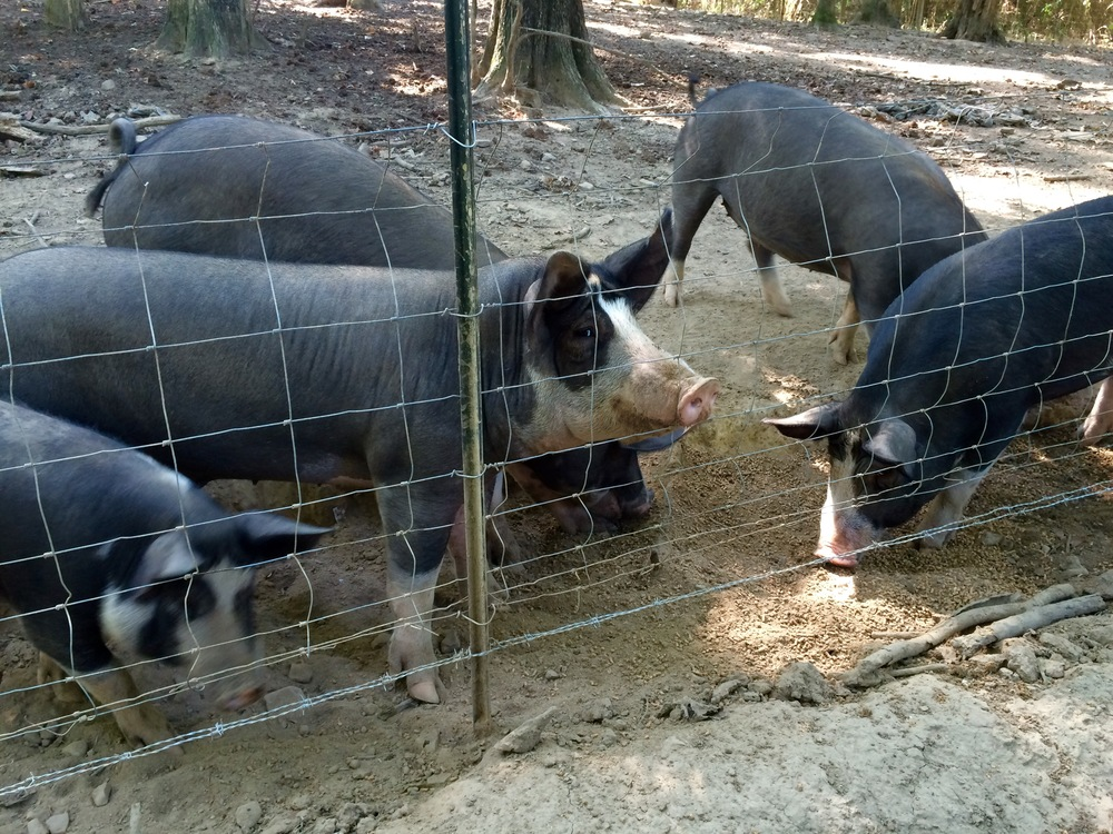 Harvest Farm pigs in pen.jpg