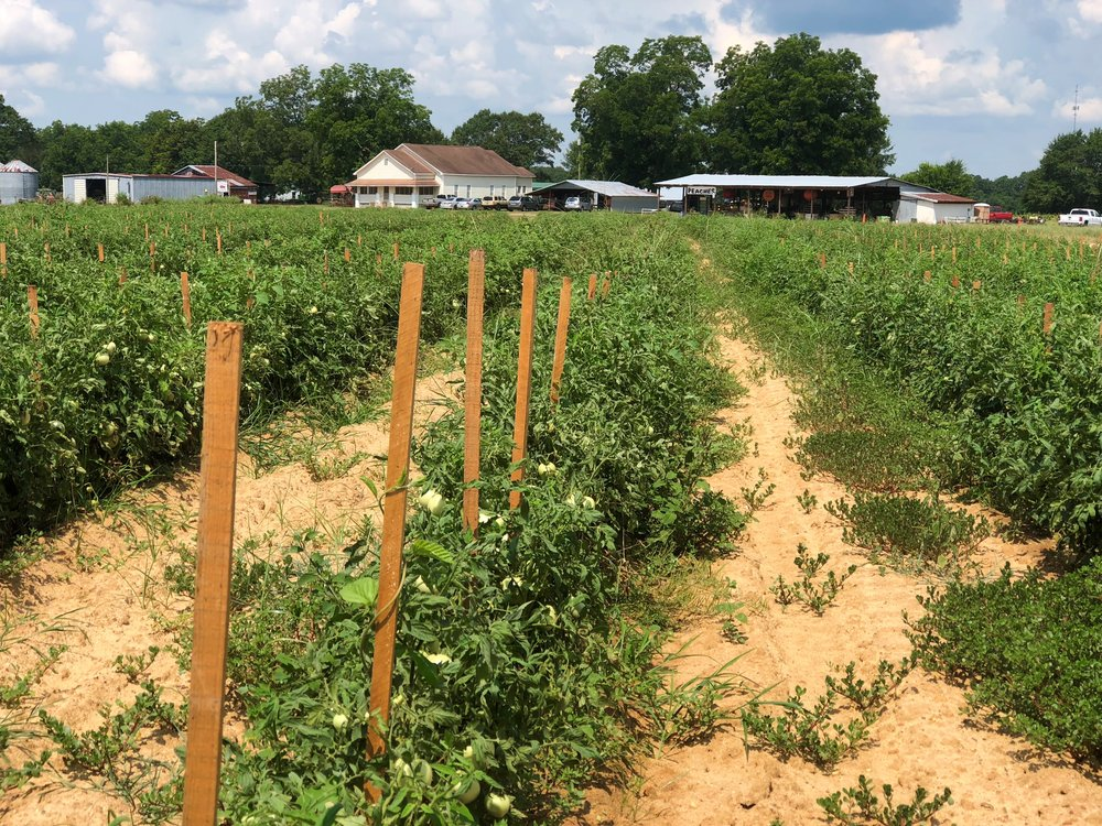 Aplin Farms tomato field horizontal.jpg