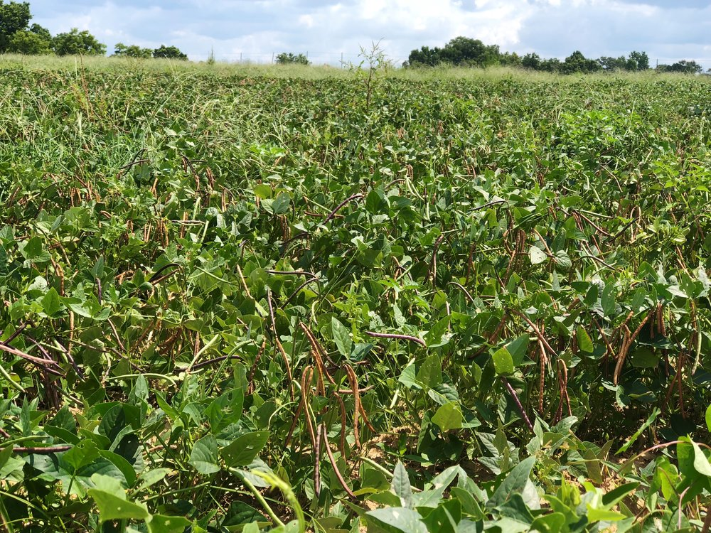 Aplin Farms pea field horizontal.jpg