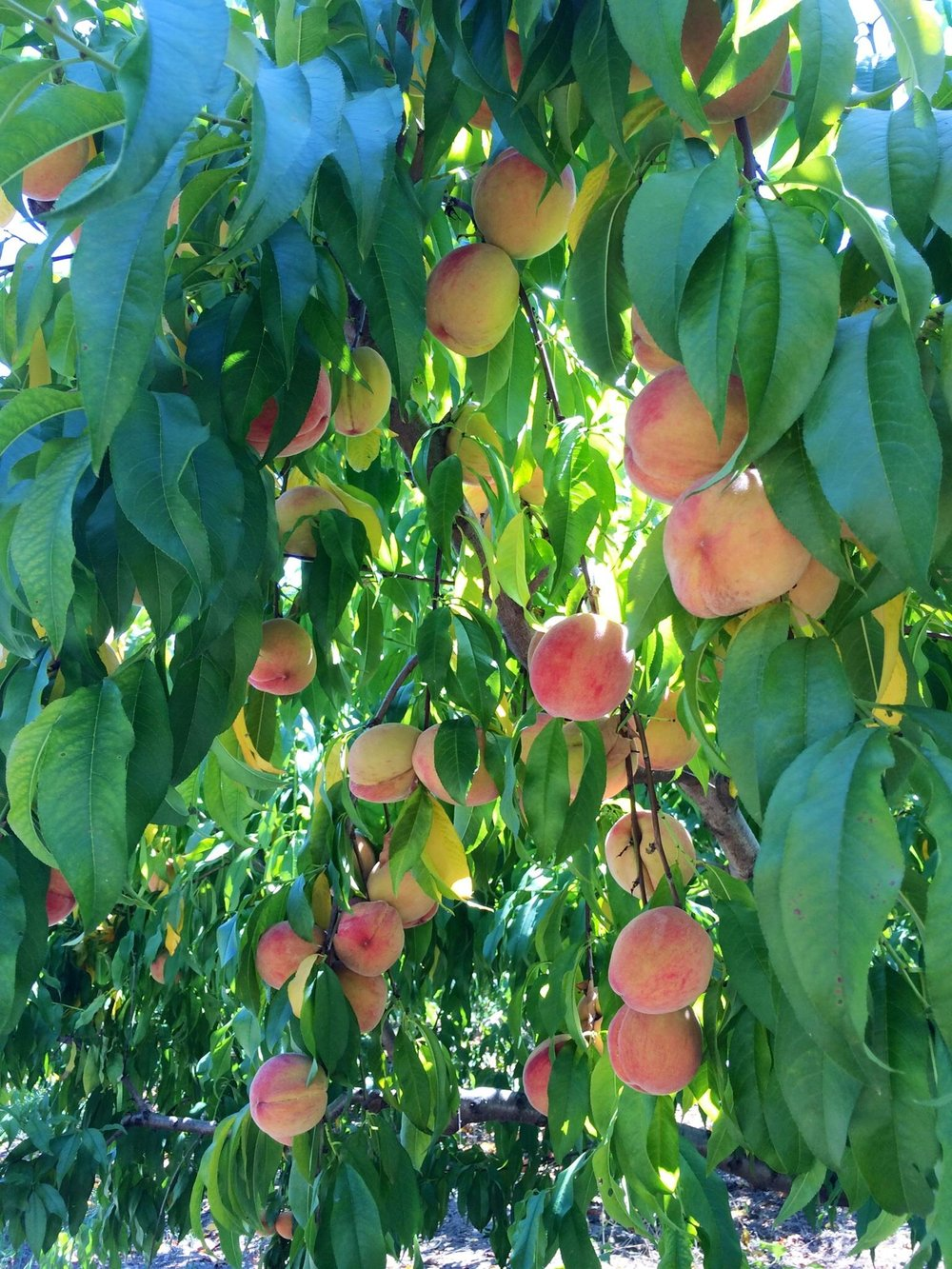 Penton Farms peaches.jpg