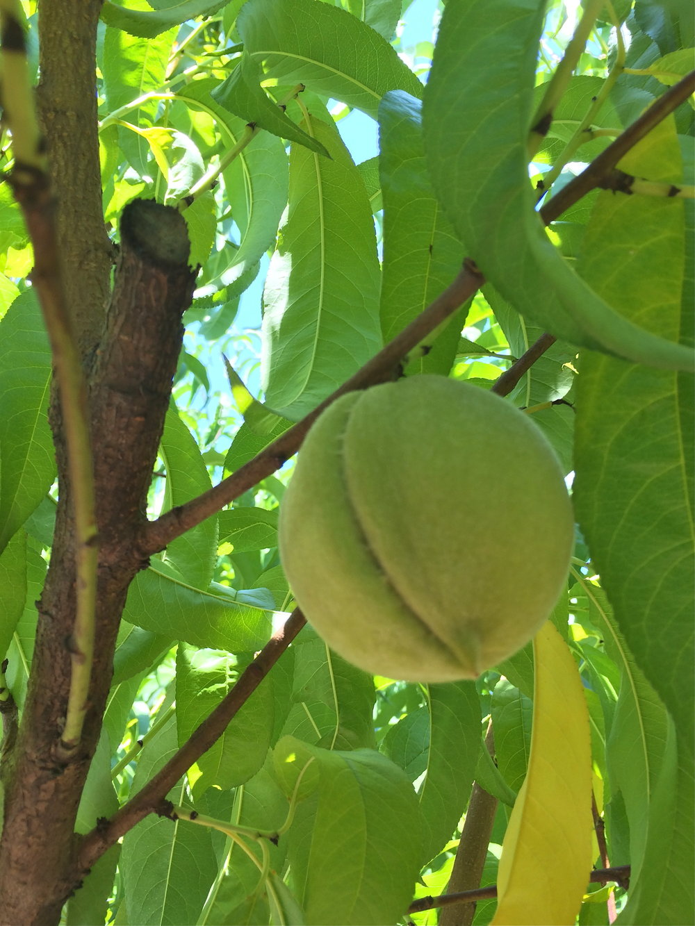 Penton Farms unripe peach.jpg