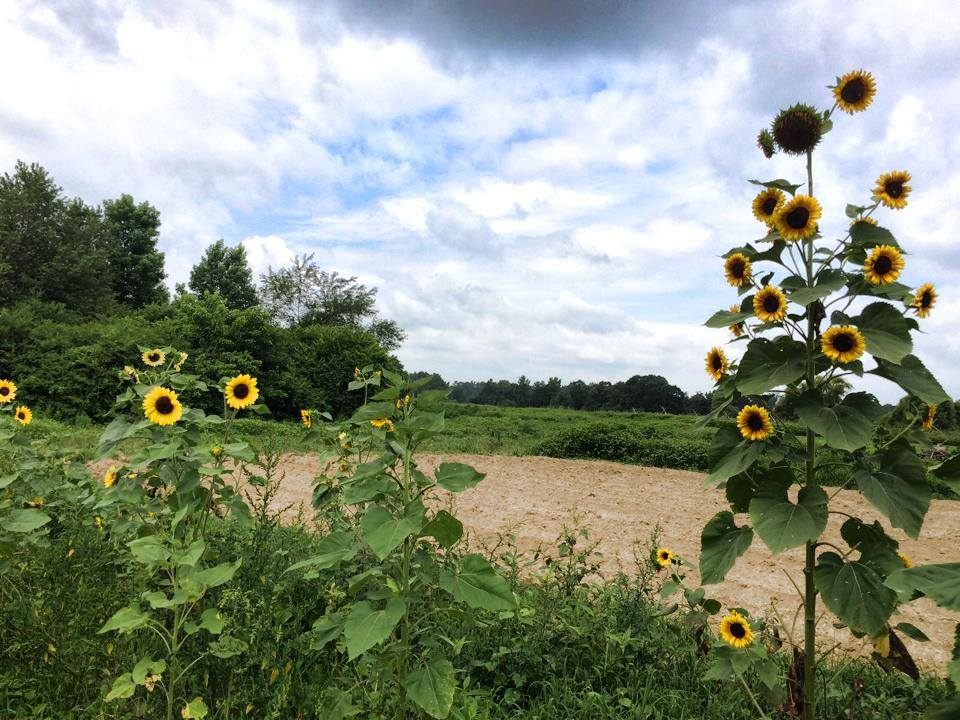 Henke Farm sunflowers.jpg