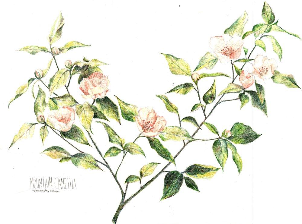 Mountain Camellia