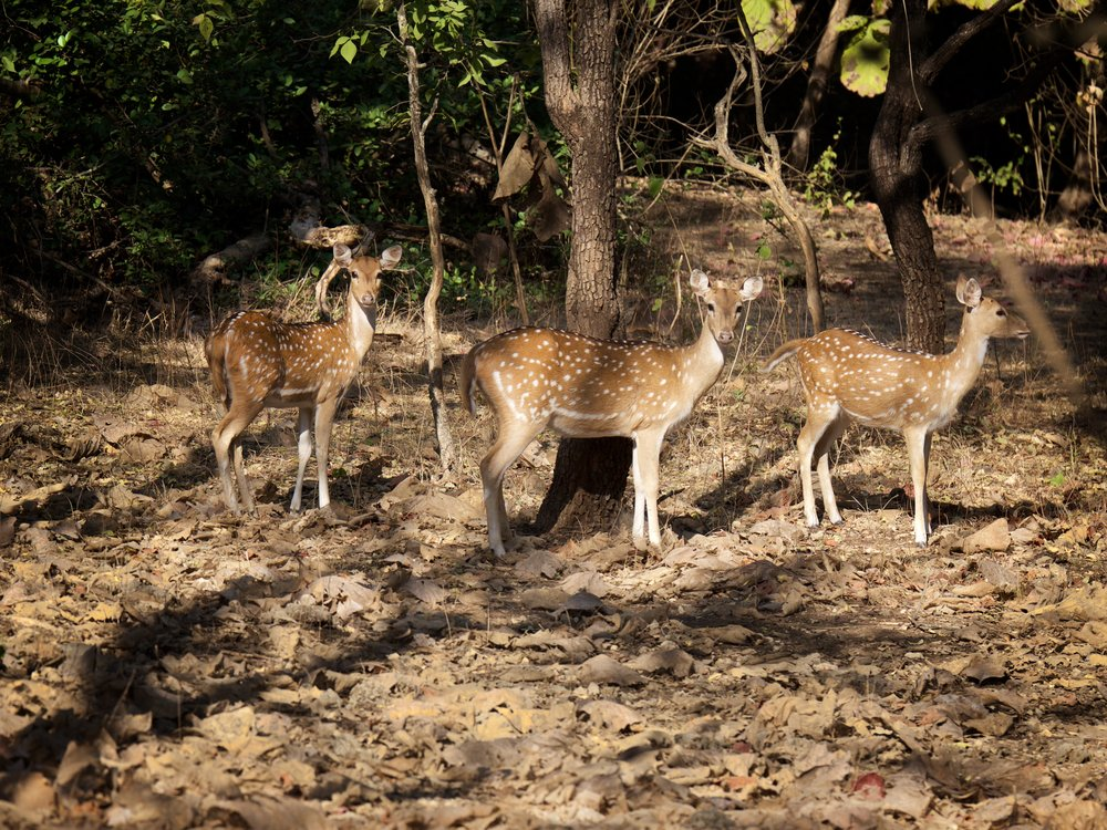Female spotted deer