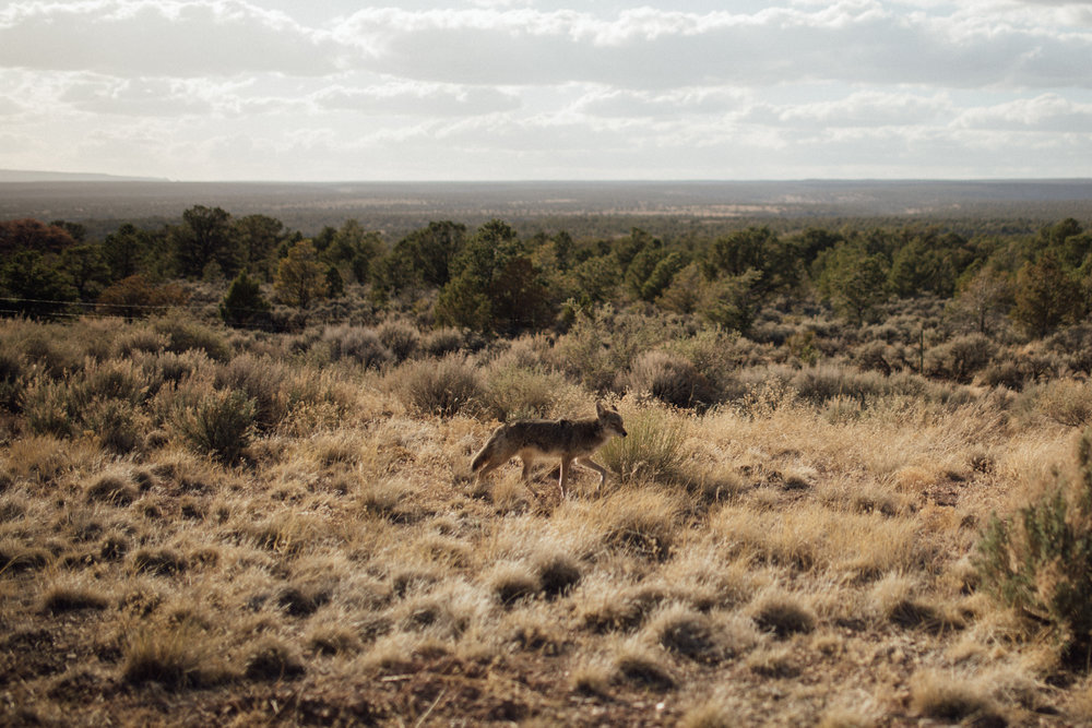 Grand Canyon National Park Travel Photography Coyote