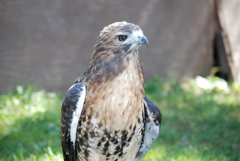 red-tailed-hawk.jpeg