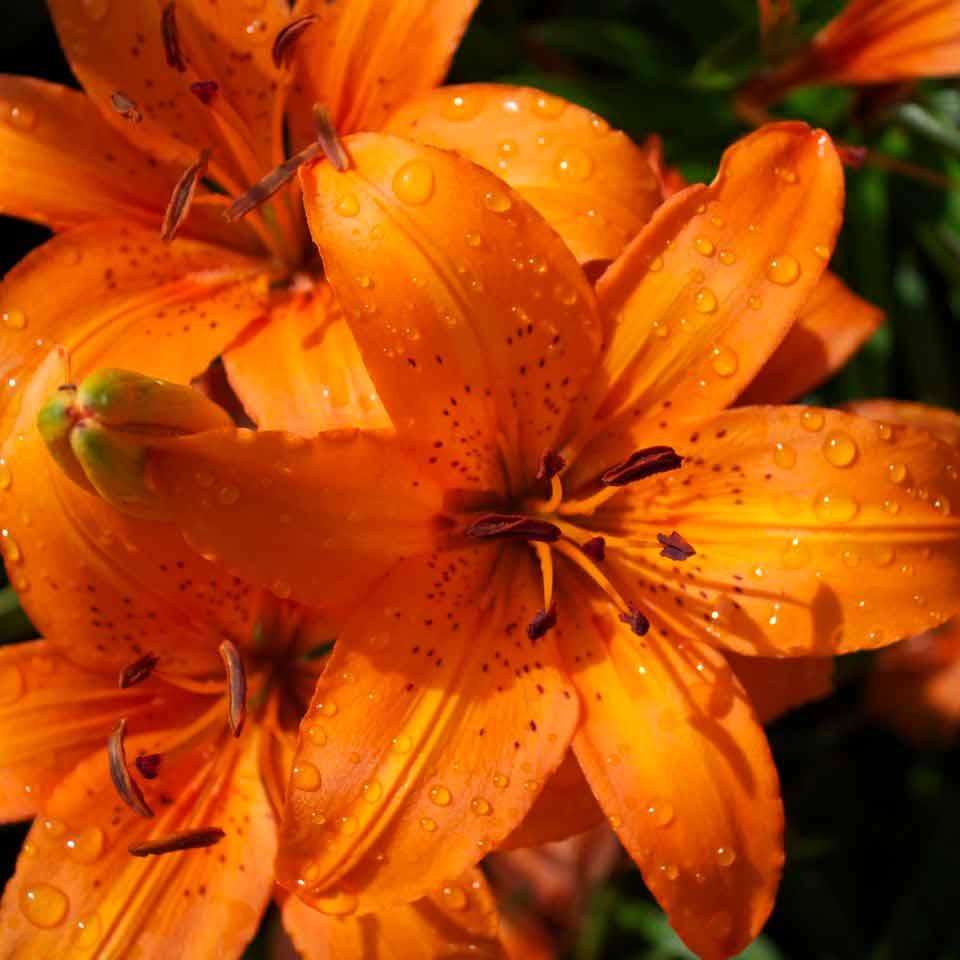 WSInn_garden-lilies.jpg