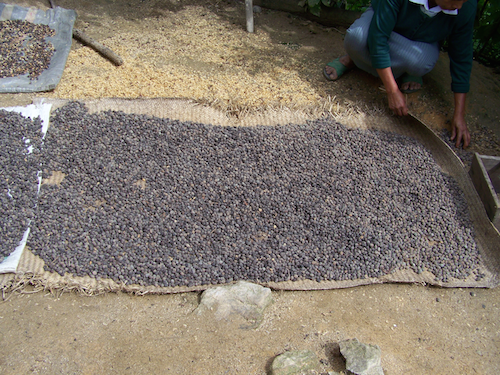 drying beans 2 500.png