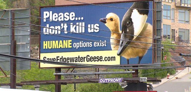 edgewater-geese