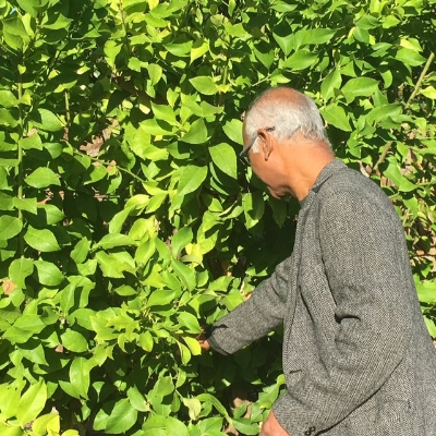 Ray, a B&B owner in Napa Valley, picks a leaf from his local lemon tree to share the scent with guests. He's been in the area for more than 30 years.