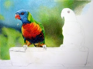 Lorikeets drawing in progress