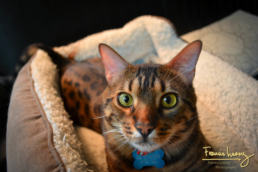 The Buddy (Copper the Bengal Cat)