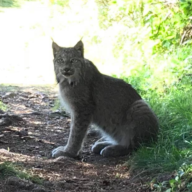 The Lynx We saw!  Image credit:  Ma conquête du Machu Picchu