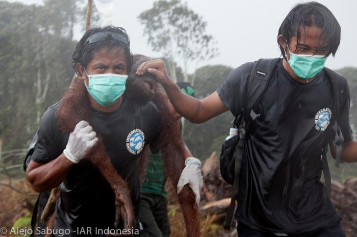Orangutan's being rescued from the destruction of their habitats to make way for palm oil plantations. Photo from: eia-international.org