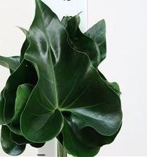 g) Anthurium Arrow Leaves