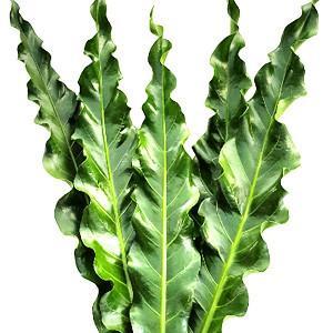 h) Anthurium Renaissance Leaves