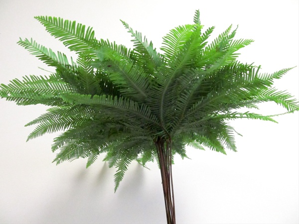 h) Umbrella Fern