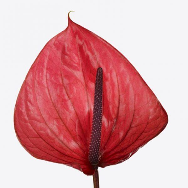 a) Anthurium