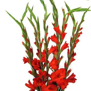 e) Gladioli