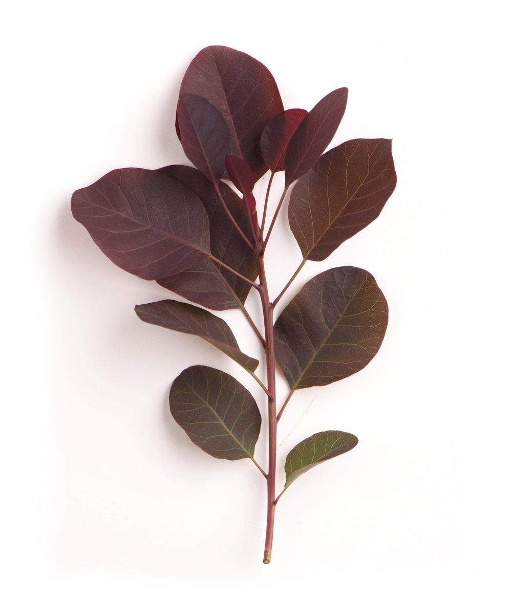 f) Smokebush Foliage