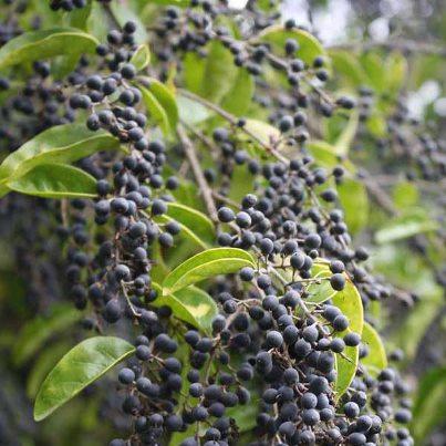 j) Privett Berries