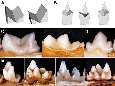 Comparisons between the models and real mammalian tooth forms. L-R. Model tools: A, single-bladed tools, symmetrical and asymmetrical; B, double-bladed tools. Mammalian tooth forms: C, lower carnassials of  Felis catus  and  Mustela frenata ; C, premolar of  F. catus ; E, lower molars of  Tenrec ecaudatus ,  Didelphis virginiana  and  Chalinolobus gouldii , and upper molar of  Desmana moschata . Scale bar is 1 mm.