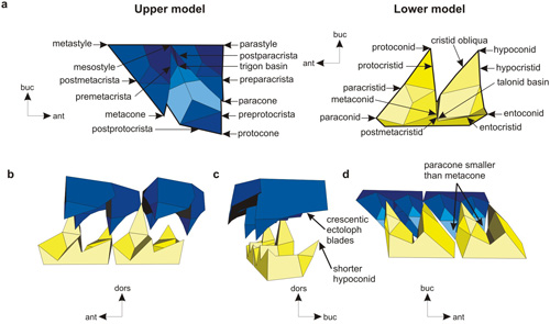 Improved model of dilambdodont molars incorporating an anterior component to the previously dorsolingual movement, crescentic crests on the upper ectoloph crests and preprotocrista, and paracone smaller than the metacone, with consequently smaller talonid basin and shorter hypoconid. a: Nomenclature of upper and lower dilambdodont molars, and separate views of the upper and lower dilambdodont models. Lingual (b), posterior (c) and buccal-occlusal (d) views of two upper and two lower model molars.
