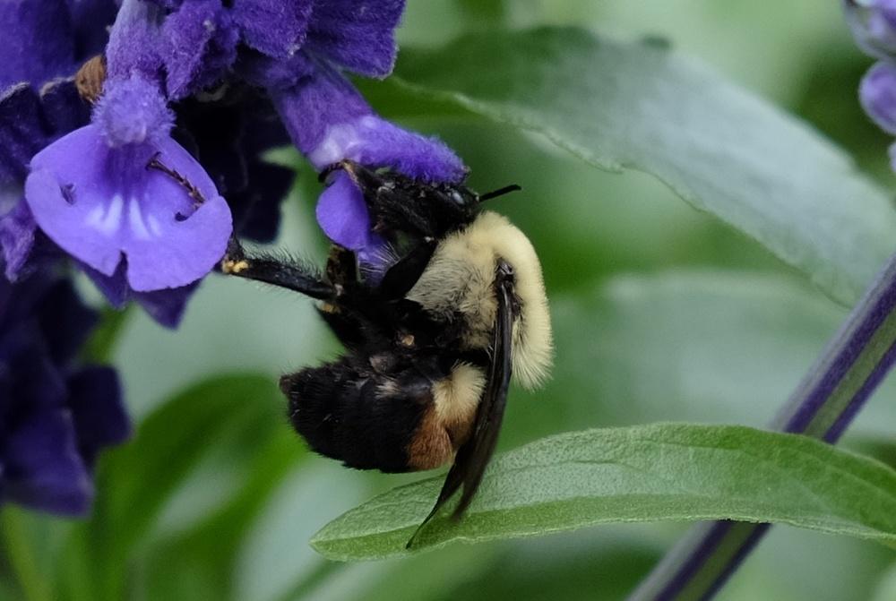 DSCF0472 Bumble Bee.jpg