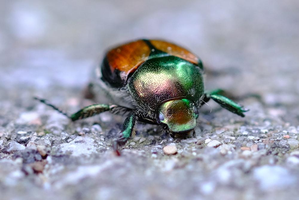 DSCF2473 Beetle Shine.jpg