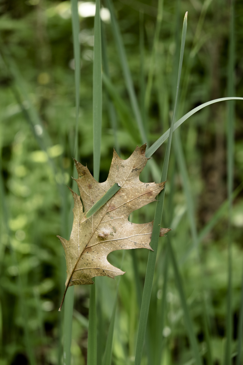 A simple photograph of an oak leaf that has been Impaled by a blade of long grass enroute to the forest floor.