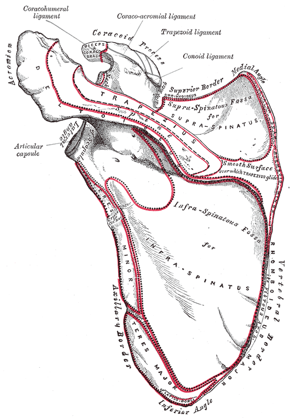 Left scapula, posterior view. Click to enlarge.