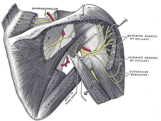 Muscles with origins on the scapula. Subscapularis and biceps brachii not shown. Click to enlarge.