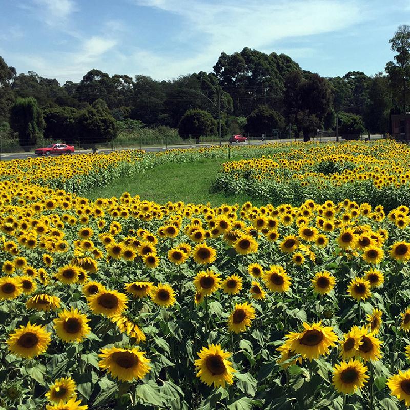 #Get Sunflowered -