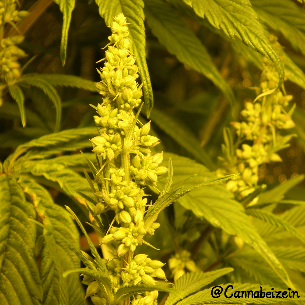 Cannabeizein 0165 - Chuy Male Plant Indoors 2016 Flowering Day 22 copy.jpg