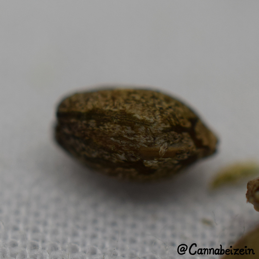 Cannabeizein 0217 - Mystery Mix Seeds - DSC_0799 copy.jpg