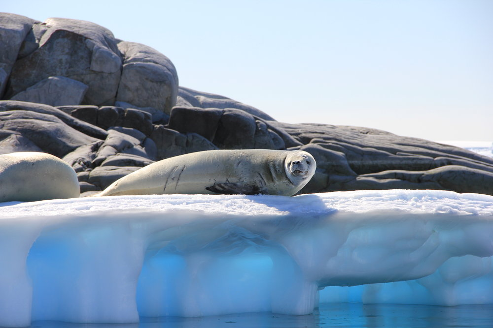 535 IMG_3047 seal on blue iceberg January 20.JPG