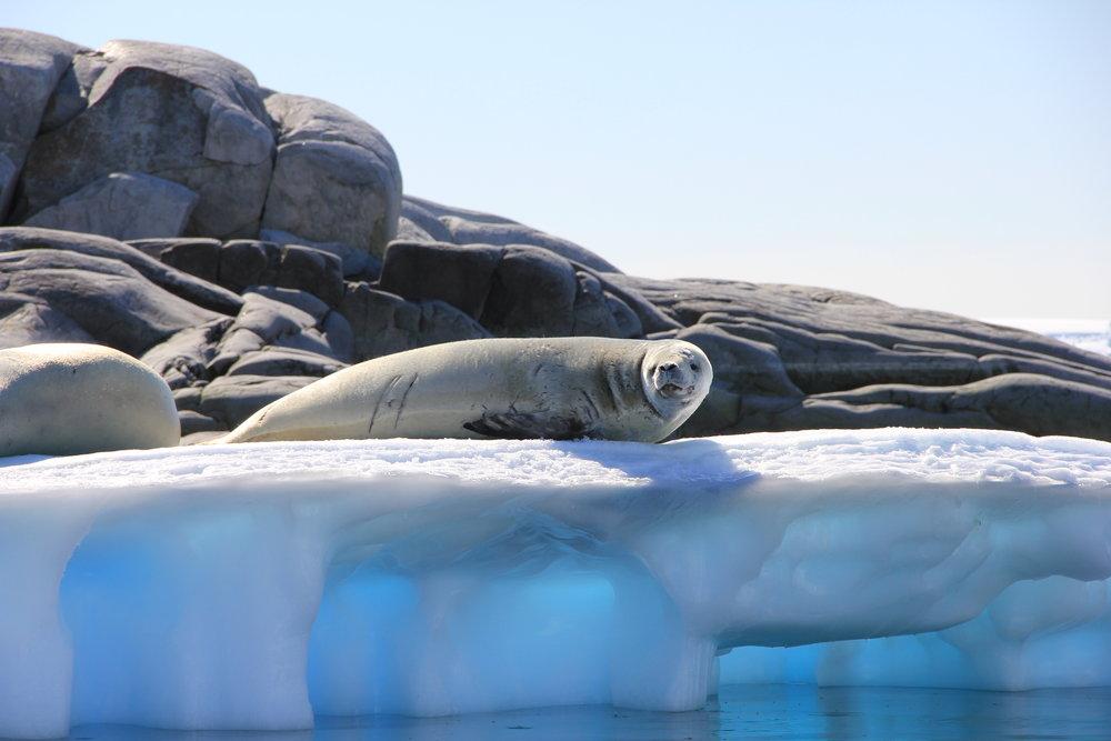 535 IMG_3047 seal on blue iceberg January 20.JPG