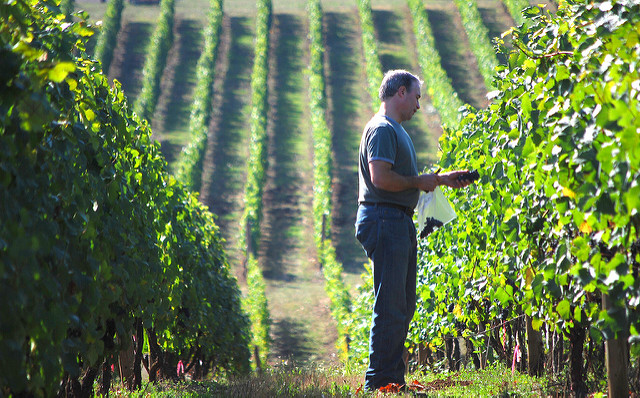 Wine harvest on vineyard in Tuscany