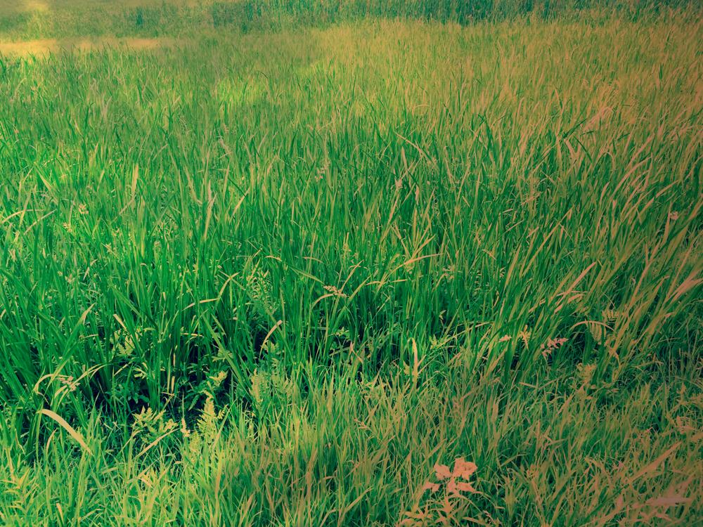 Grass in Morning Light by Dena T Bray