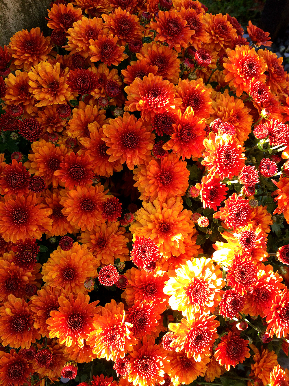 ©Orange Mums by Dena T Bray